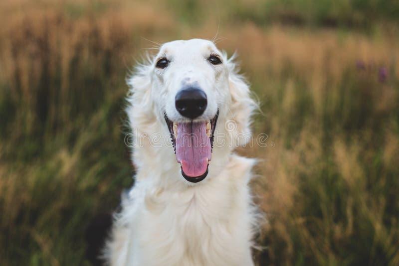 Nahaufnahme-Porträt des glücklichen russischen Barzoihundes auf dem Gebiet lizenzfreie stockfotografie