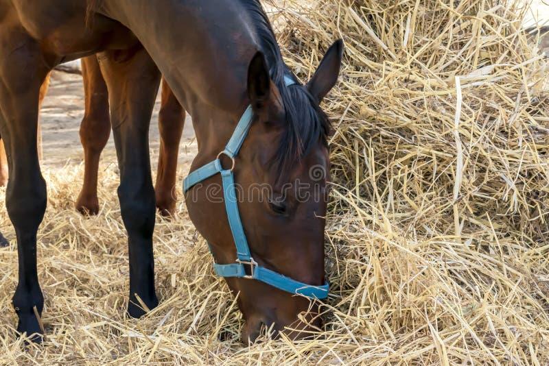 Nahaufnahme-Porträt eines schönen züchtenden braunen Pferdestellungs- und -essenheus F?tterung von Reitenpferden stockfoto