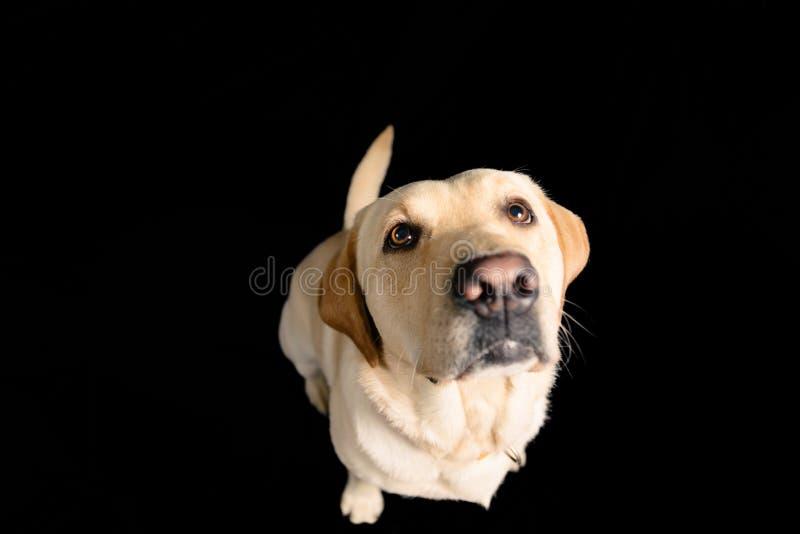 Nahaufnahme-Porträt im Studio von blondem Labrador auf schwarzem Hintergrund lizenzfreie stockfotografie