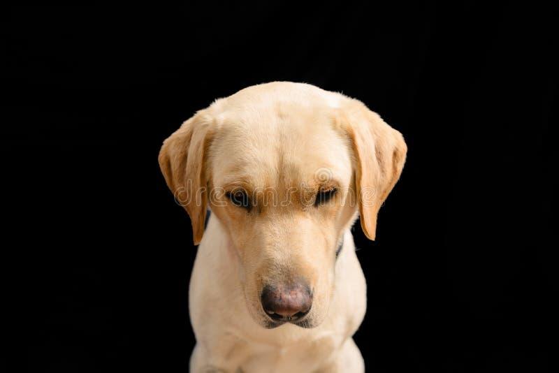 Nahaufnahme-Porträt im Studio von blondem Labrador auf schwarzem Hintergrund lizenzfreie stockfotos
