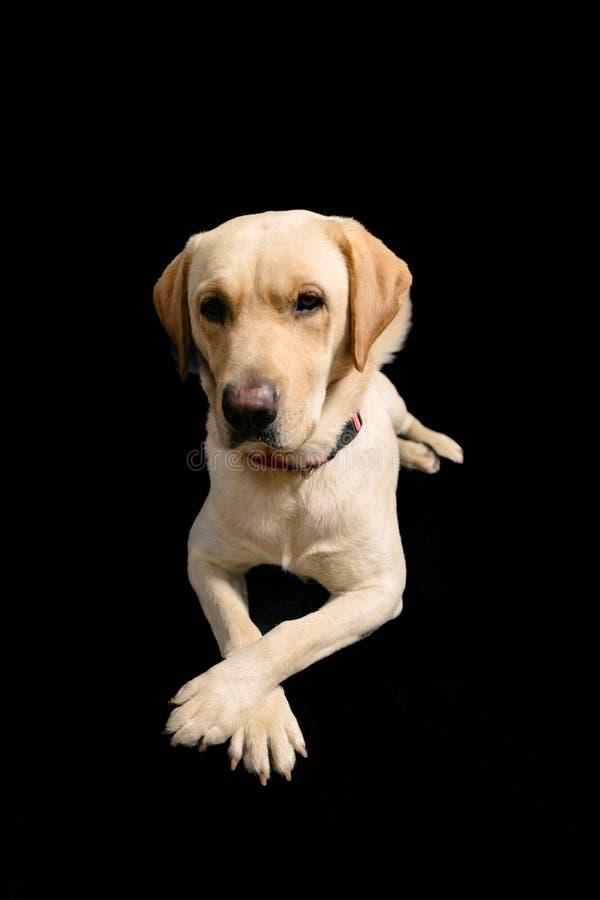 Nahaufnahme-Porträt im Studio von blondem Labrador auf schwarzem Hintergrund stockfotos