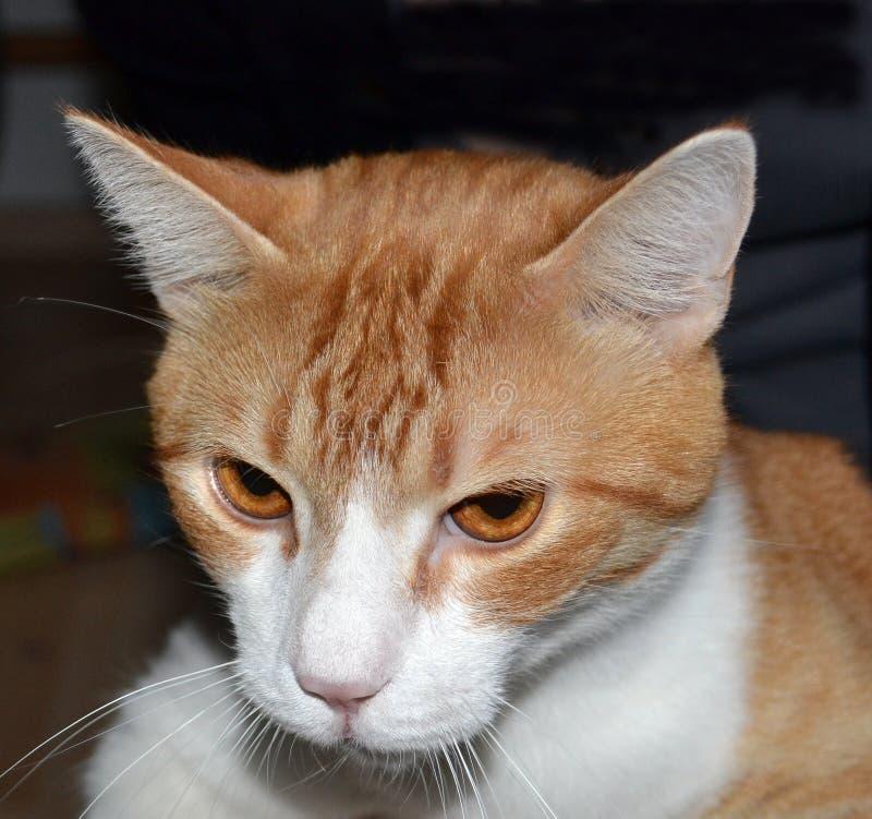 Nahaufnahme-Porträt von Ginger Tomcat Front View lizenzfreie stockfotos
