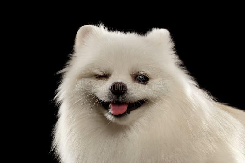 Nahaufnahme-Porträt Winks des weißen Spitz-Hundes auf Schwarzem stockfotos