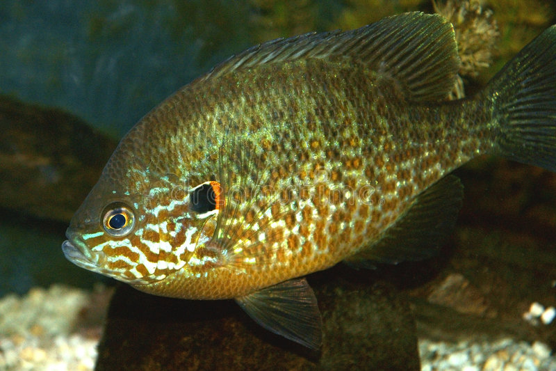 Nahaufnahme Pumpkinseed Fische lizenzfreie stockfotos