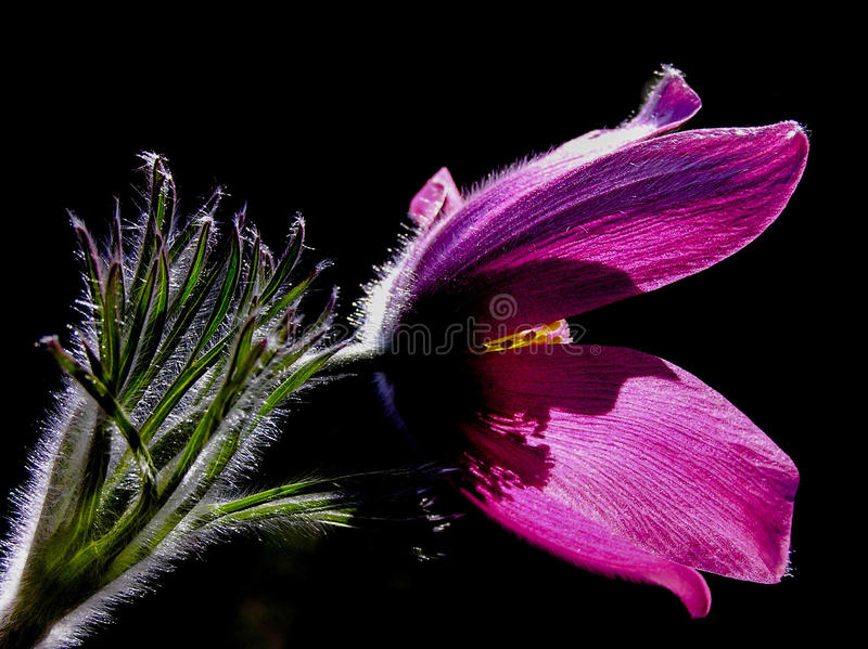 Nahaufnahme - purpurrote pasque Blume mit dunklem Hintergrund stockbild