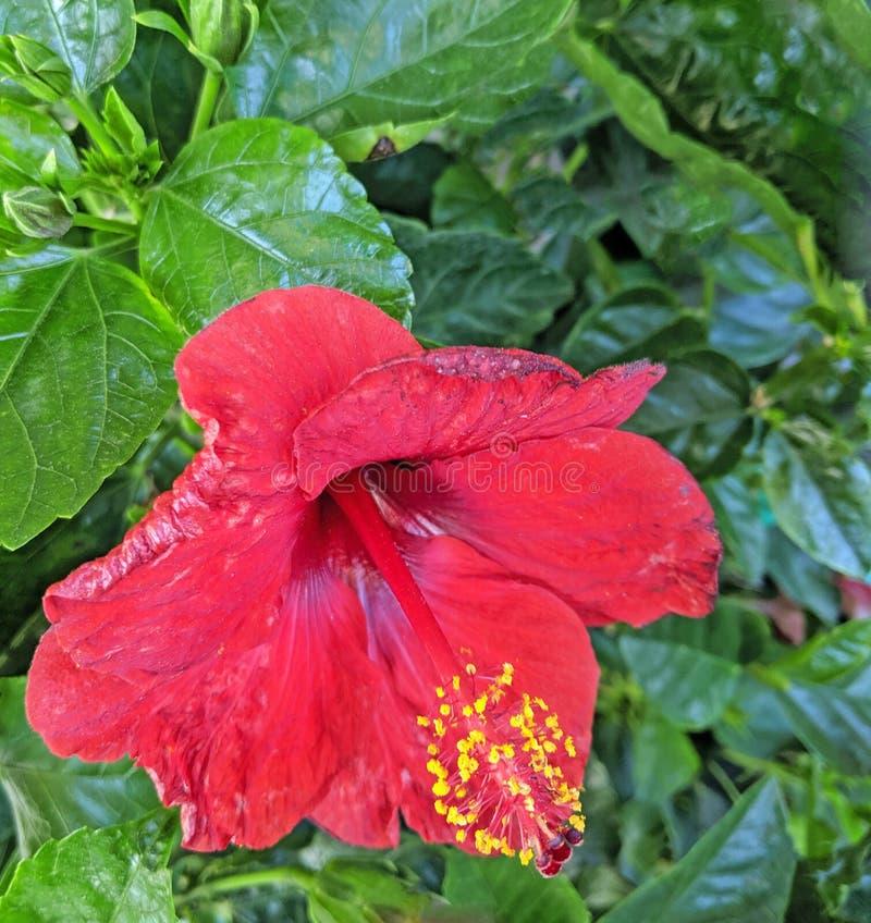 Nahaufnahme-rote Hibiscusbetriebstrompete-förmige Blume lizenzfreie stockfotografie
