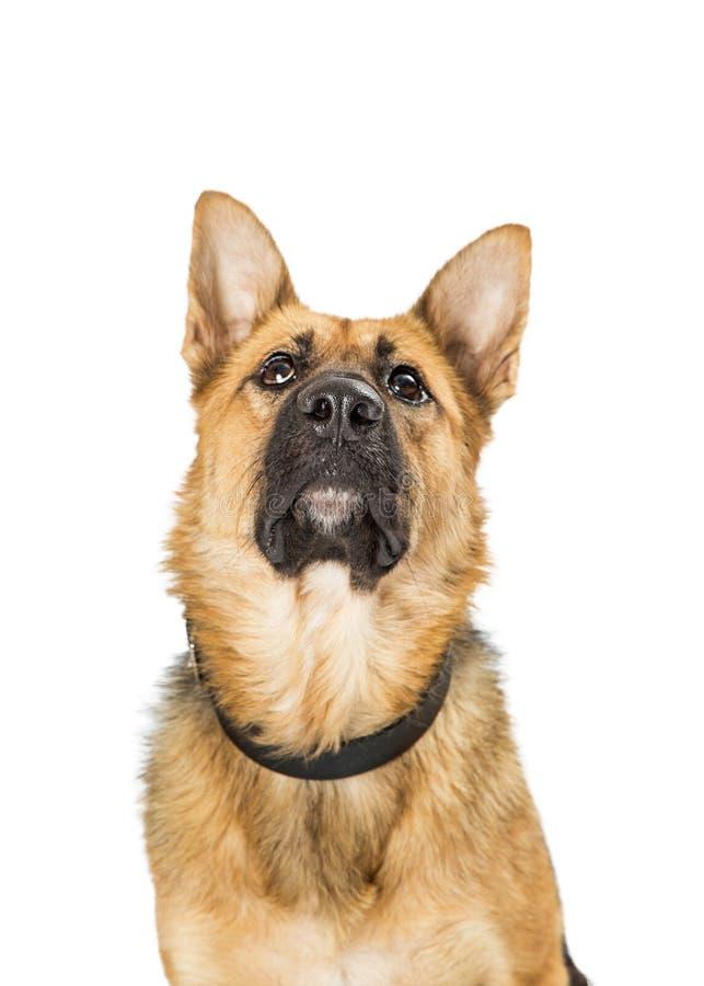 Nahaufnahme-Schäferhund Crossbreed Dog Looking oben stockfotos