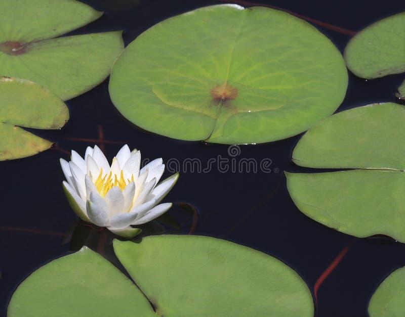 Nahaufnahme schöne Wasserlilie mit Reflexion stockbild