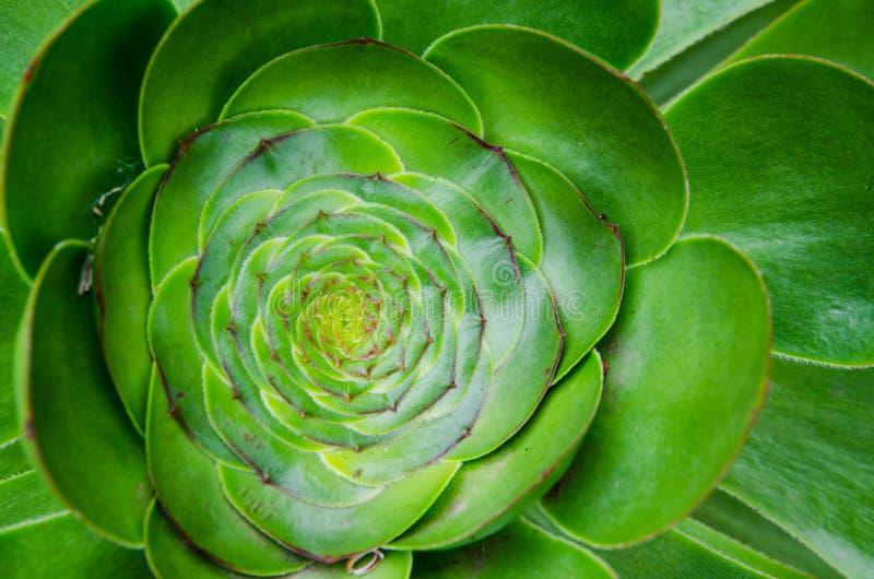 Nahaufnahme schöner grüner Aeonium an einer Jahreszeit des botanischen Gartens im Frühjahr stockfotografie