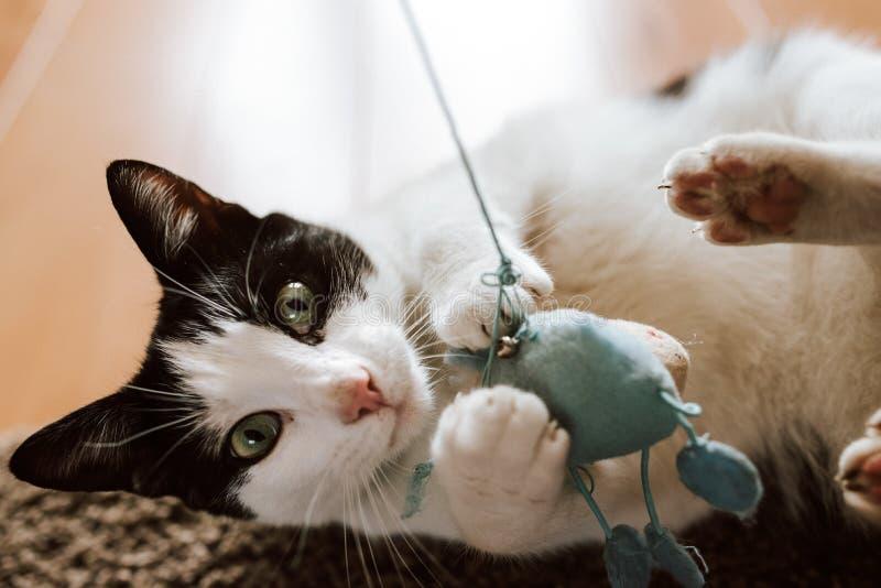 Nahaufnahme schoss eine flaumige Schwarzweiss-Katze, die mit einer blauen gestrickten Maus spielt lizenzfreie stockbilder
