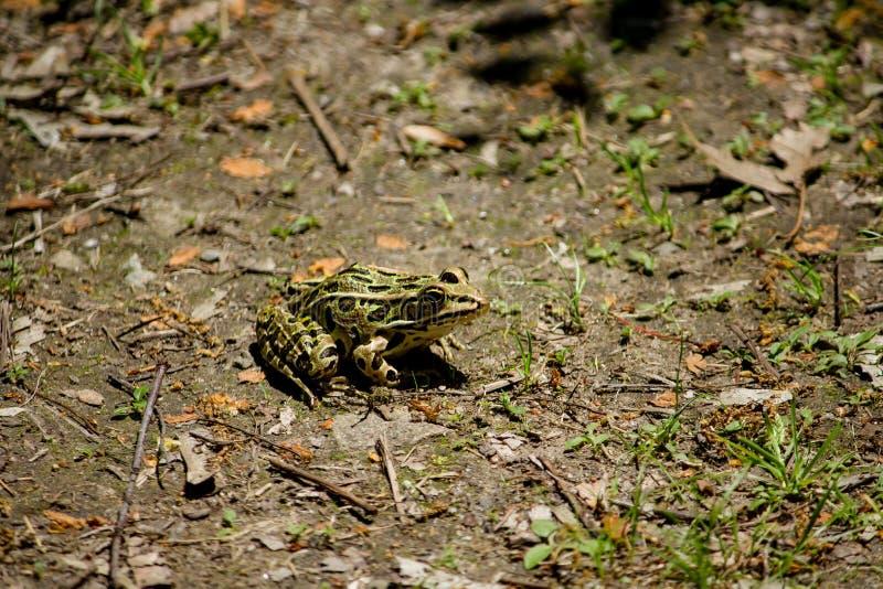 Nahaufnahme schoss von einem Eiche ausgewichenen Stillstehen in einem Wald an einem sonnigen Tag lizenzfreie stockfotos