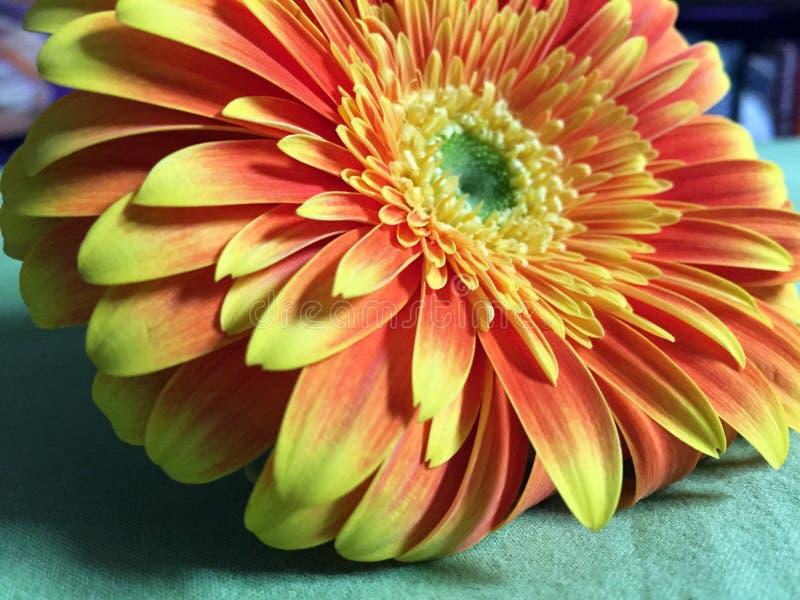 Nahaufnahme schoss von einem schönen barberton Gänseblümchen Gerbera mit den gelb-orangeen Blumenblättern stockfoto