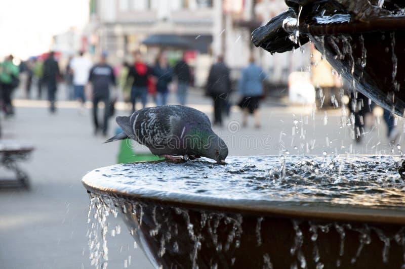 Nahaufnahme schoss von einem Trinkwasser der Straßentaube von einem Brunnen auf einen Park stockfotografie