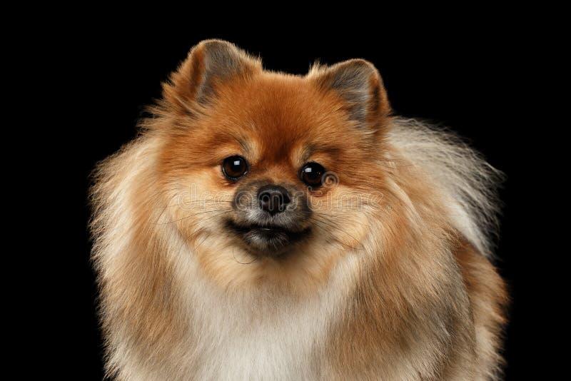 Nahaufnahme schwärzen der flaumige Pomeranian-Spitz-Hund, der in camera schaut, lokalisiert lizenzfreies stockbild