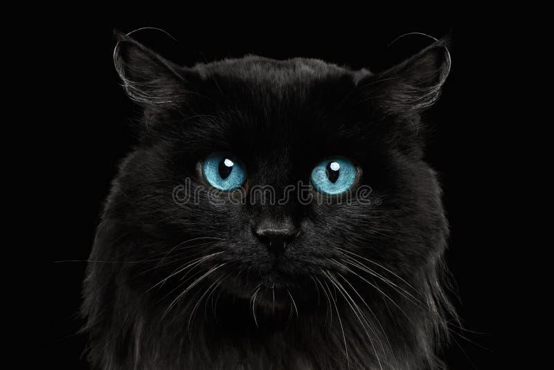 nahaufnahme schwarze katze mit blauen augen stockfoto bild von makro blau 77699278. Black Bedroom Furniture Sets. Home Design Ideas
