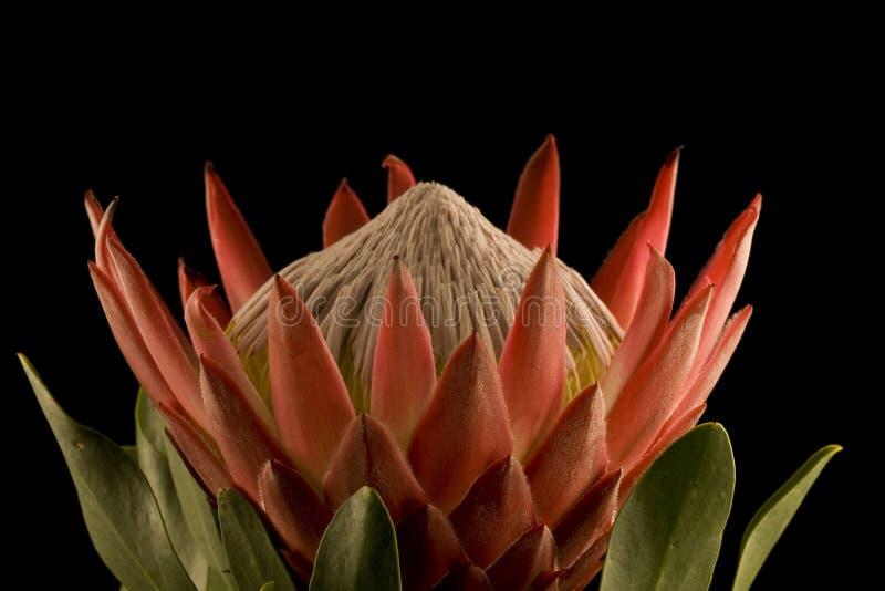 Nahaufnahme-Seitenansicht des König-Protea lizenzfreies stockbild