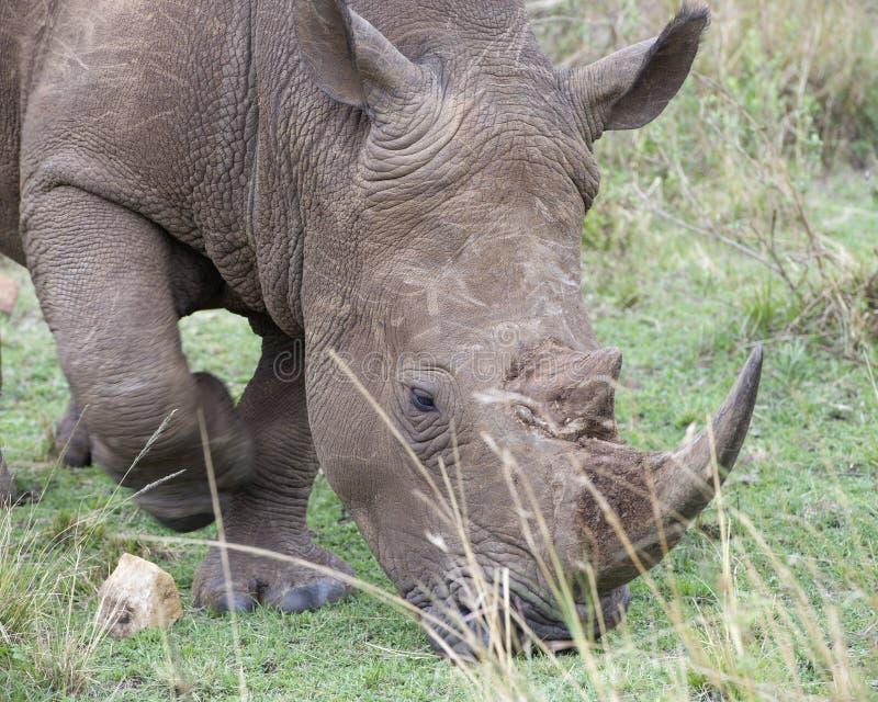Nahaufnahme sideview des Kopfes eines weißen Nashorns gehend, Gras essend lizenzfreie stockfotos