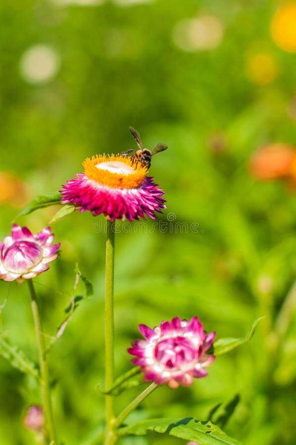 Nahaufnahme-Strohblume stockbilder