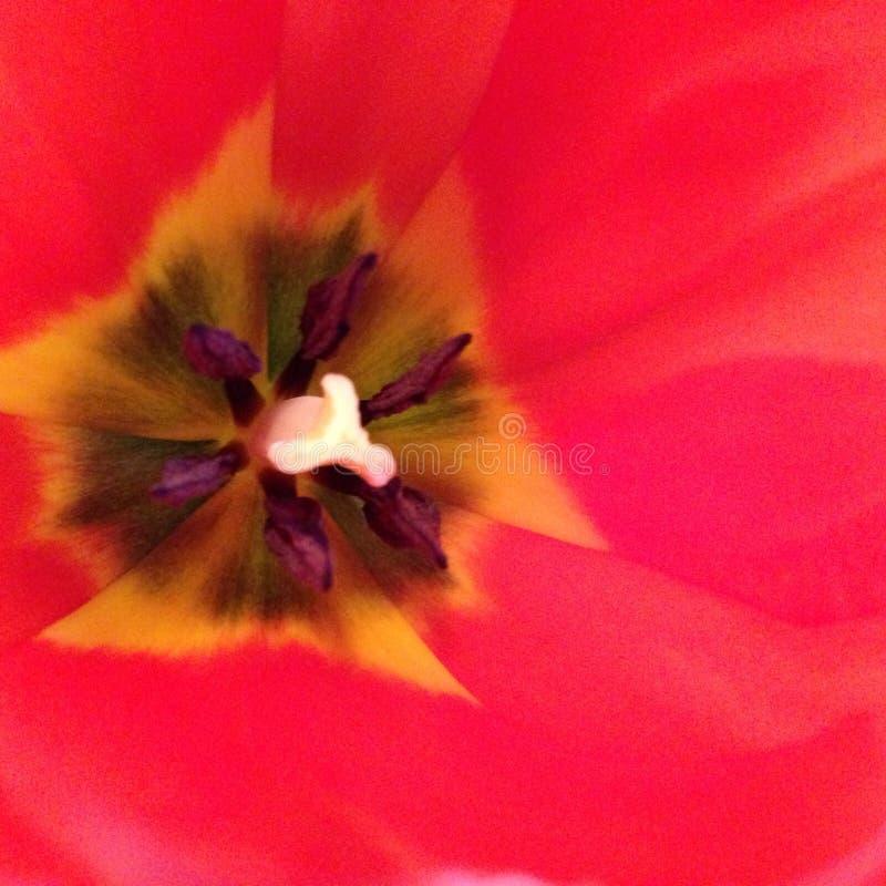 Nahaufnahme-Tulpe stockfotos