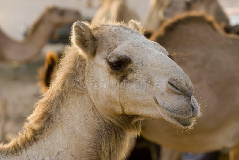 Nahaufnahme UAE Dubai eines Kamelgesichtes an einem Bauernhof in der Wüste außerhalb Dubais stockfotos