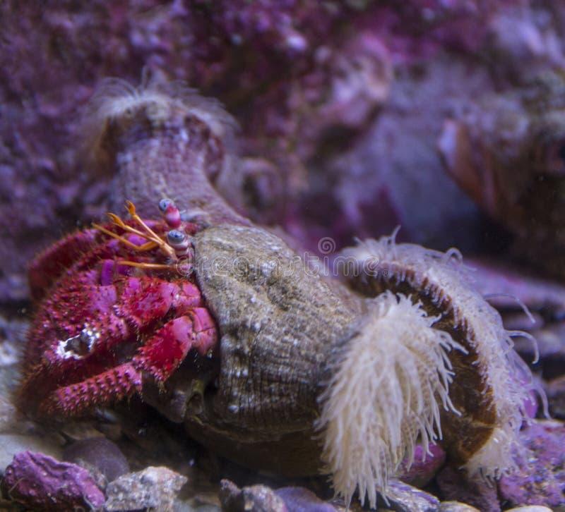 Nahaufnahme von Anemone Hermit Crab stockbild
