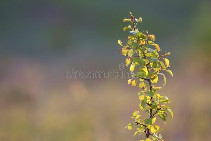 Nahaufnahme von beleuchtet durch Fruchtbirnen- oder -apfelbaumbrunch des Sommers Sonne lokalisierten mit Spinnenthread auf Grün v stockbild