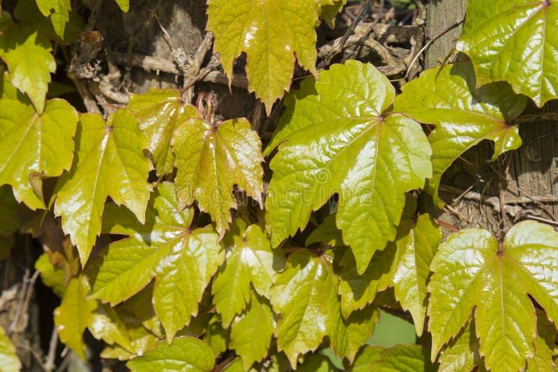 Nahaufnahme von Blättern einer Virginia-Kriechpflanze, die über einem hölzernen klettert stockfotografie