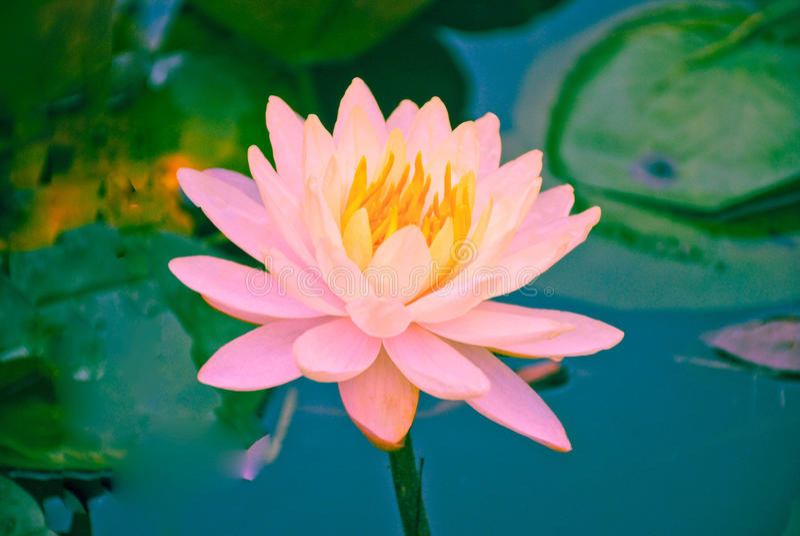 Nahaufnahme von blühenden rosa Seeroseblumen oder von Lotosblume im Teich lizenzfreie stockfotografie