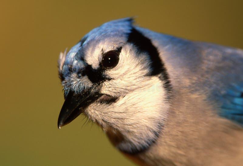 Nahaufnahme von Blue Jay an der Winterzufuhr lizenzfreie stockfotos