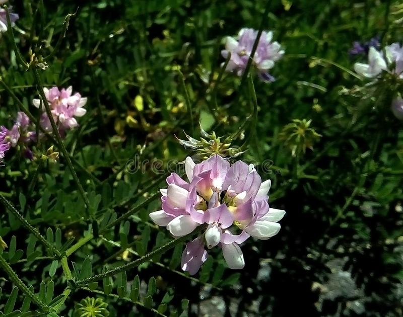 Nahaufnahme von Blumen der wilden Erbse vor dem hintergrund des grünen Laubs lizenzfreies stockfoto