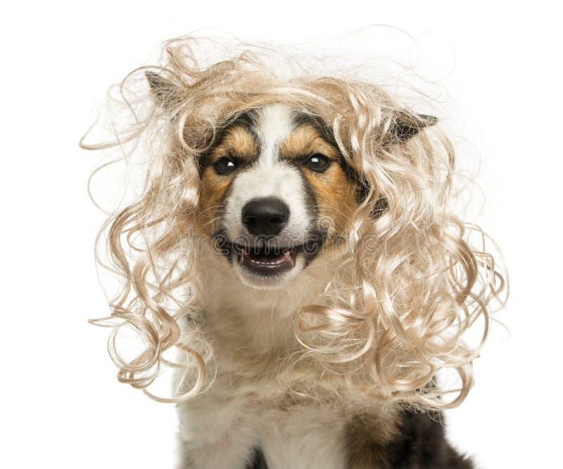 Nahaufnahme von Border collie mit einer bezaubernden blonden Perücke stockfotografie