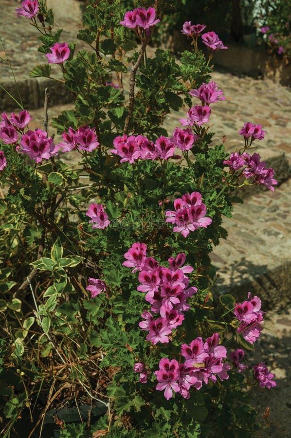 Nahaufnahme von bunten Blumen auf einem starken Busch, an einem sonnigen Tag in Caceres stockfoto