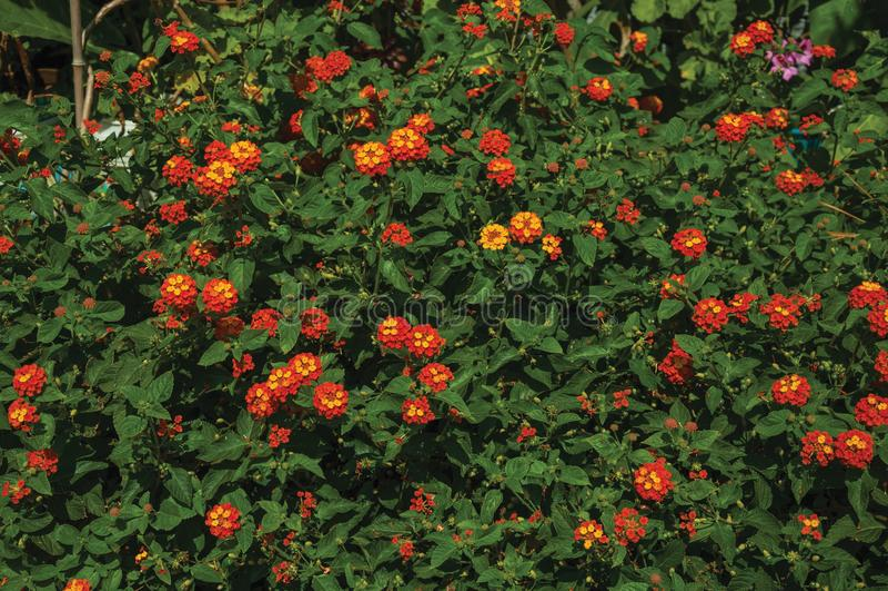 Nahaufnahme von bunten Blumen auf einem starken Busch, an einem sonnigen Tag in Caceres lizenzfreie stockfotografie