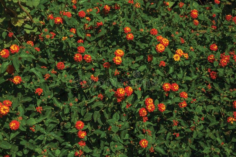 Nahaufnahme von bunten Blumen auf einem starken Busch, an einem sonnigen Tag in Caceres lizenzfreie stockbilder
