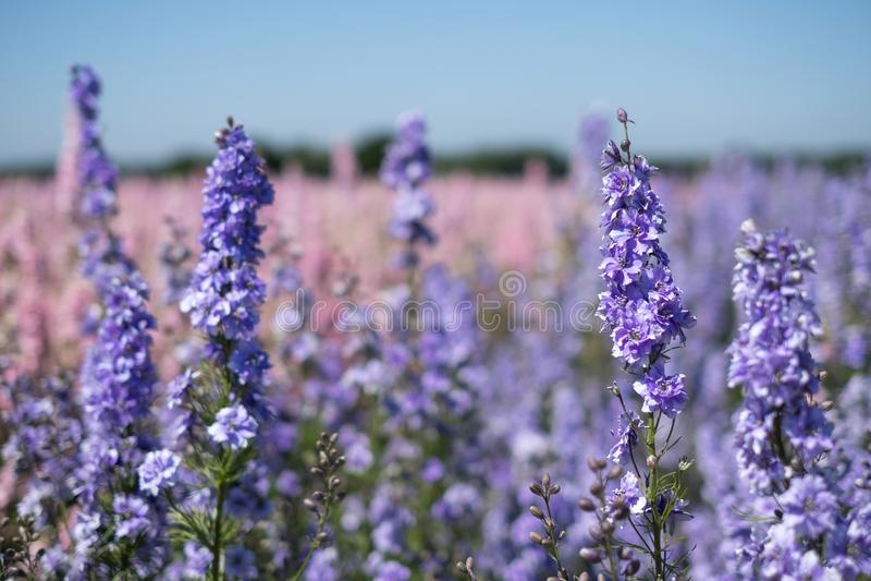 Nahaufnahme von bunten Rittersporen auf einem Gebiet am Docht, Pershore, Worcestershire, Großbritannien Die Blumenblätter werden  lizenzfreies stockfoto