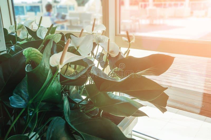 Nahaufnahme von Callablumen gegen grüne Blätter in der Halle des Raumes Entwerfen Sie den Raum mithilfe der schönen Anlagen stockbild