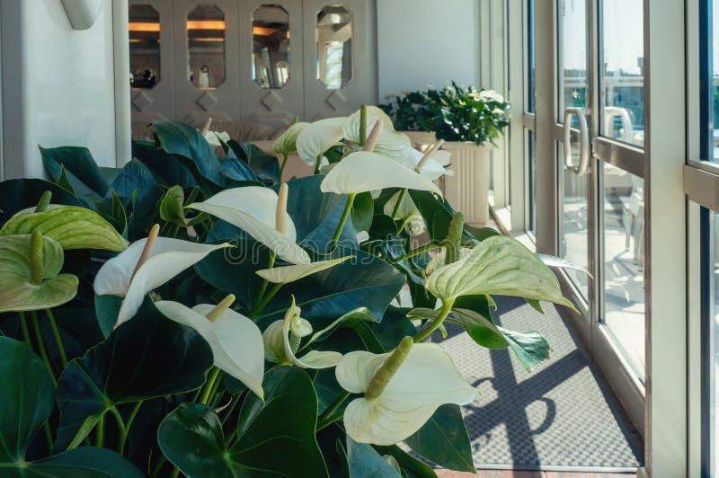 Nahaufnahme von Callablumen gegen grüne Blätter in der Halle des Raumes Entwerfen Sie den Raum mithilfe der schönen Anlagen lizenzfreie stockfotos