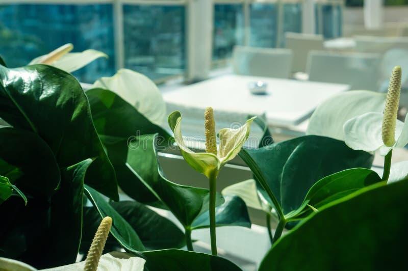 Nahaufnahme von Callablumen gegen grüne Blätter in der Halle des Raumes Entwerfen Sie den Raum mithilfe der schönen Anlagen stockbilder