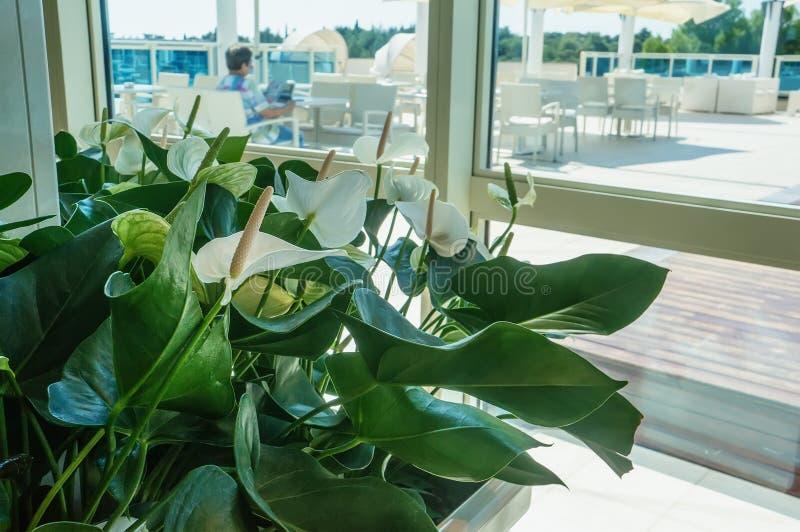 Nahaufnahme von Callablumen gegen grüne Blätter in der Halle des Raumes Entwerfen Sie den Raum mithilfe schönen lizenzfreie stockfotos