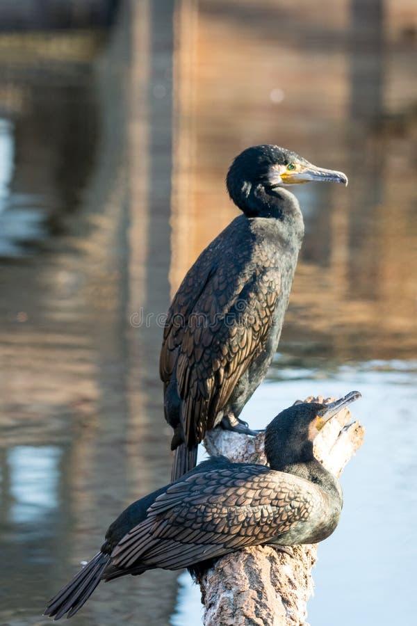 Nahaufnahme von cormoran sitzend in der Front auf einem See lizenzfreies stockbild