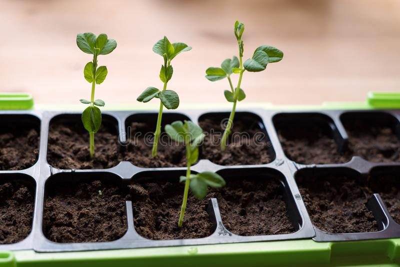 Nahaufnahme von den autarken selbstgezogenen jungen organischen Zuckererbsen, die vom frischen Boden wachsen stockfotografie