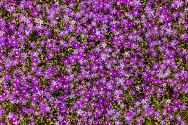 Nahaufnahme von den Feldblumen, die in Marokko blühen lizenzfreies stockbild
