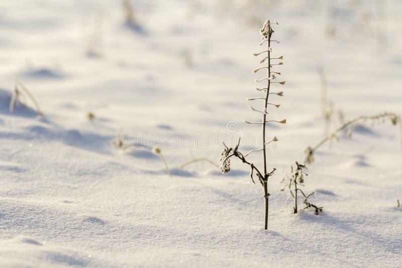 Nahaufnahme von den getrockneten schwarzen verwelkten Krautbetriebsunkräutern bedeckt mit Schnee und Frost auf dem kalten leeren  stockbilder