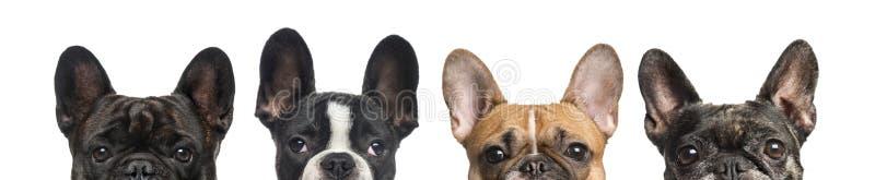 Nahaufnahme von den oberen Köpfen von Hunden, lokalisiert stockfoto