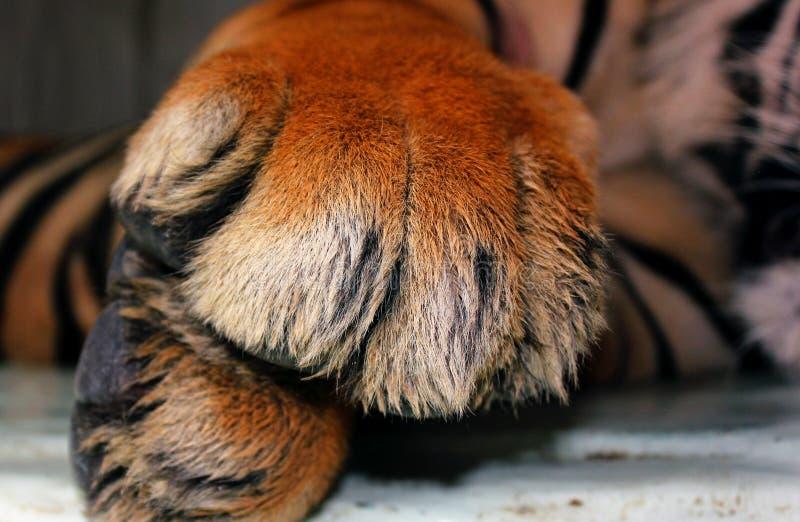 Nahaufnahme von den Tigertatzen, die sich hinlegen lizenzfreies stockbild