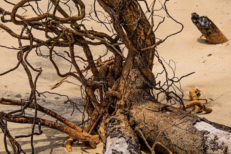 Nahaufnahme von den verdrehten Zweigen begraben im Sand von Paraty Mirim lizenzfreies stockbild