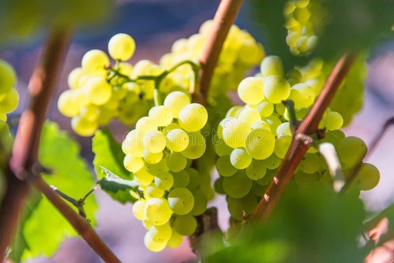 Nahaufnahme von den Weinreben, die auf der Rebe wachsen stockfotos