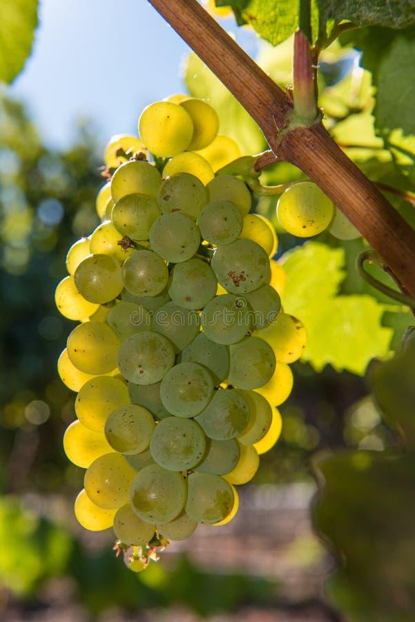 Nahaufnahme von den Weinreben, die auf der Rebe wachsen lizenzfreies stockbild