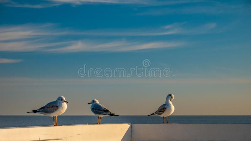 Nahaufnahme von drei Seemöwen, die auf einem Bretterzaun in Sopot stehen lizenzfreie stockfotos
