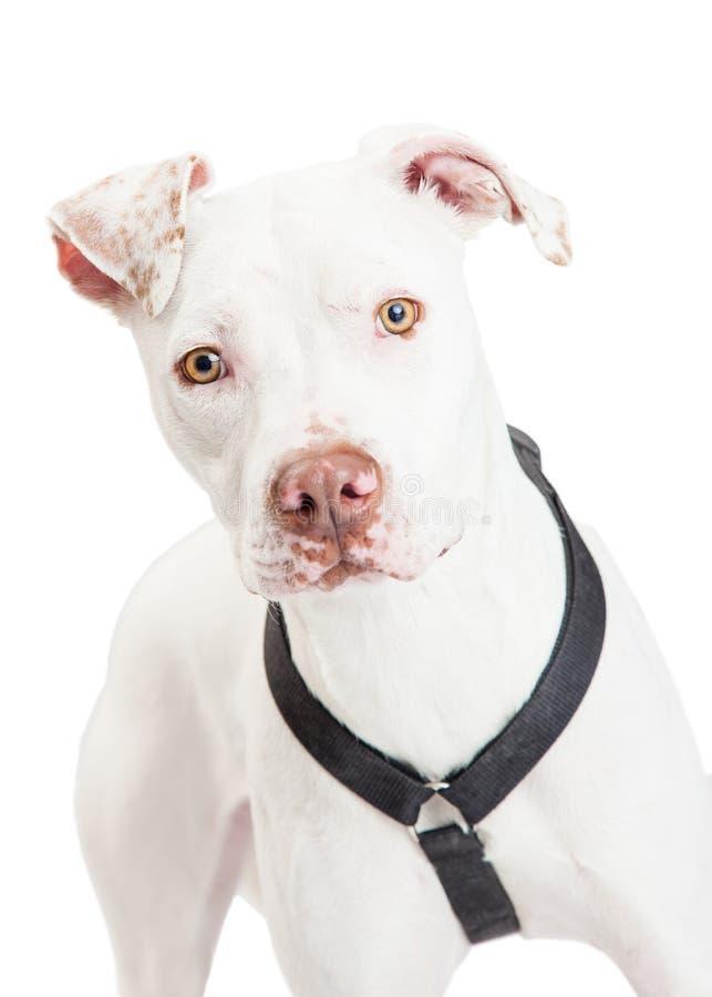 Nahaufnahme von einem Dogo Argentino Dog stockfoto